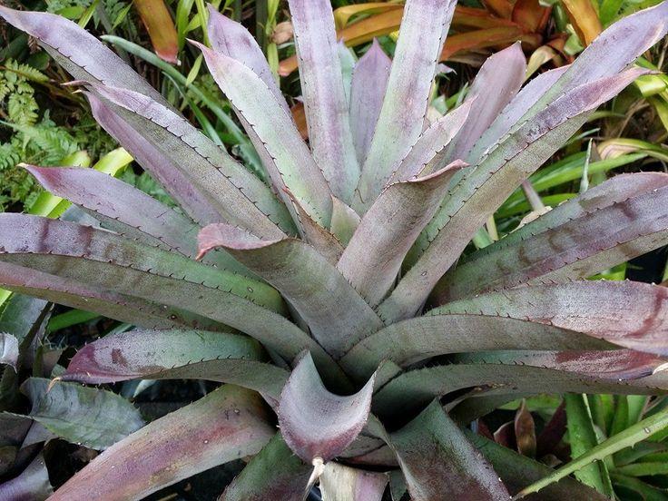Hohenbergia 'Purple Majesty'