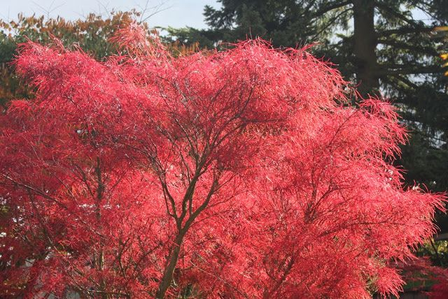 78 Best Images About Japanese Maples On Pinterest