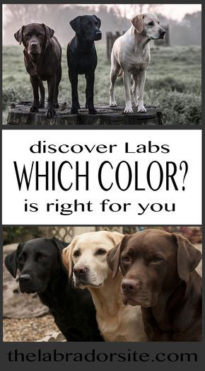 We look at how different colors of Labrador have become associated with different roles and help you choose between them
