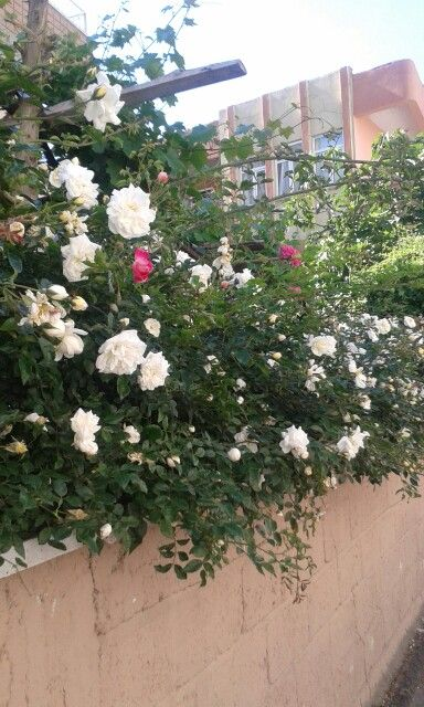 Beyaz sarmaşık güller