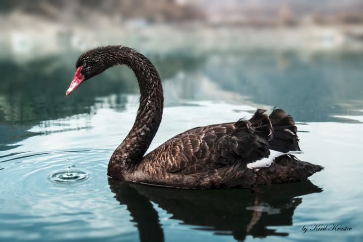 Picture of the Day: The Black Swan - Seen here is a beautiful black swan in Bulgaria's Bacha Reservoir. The black swan (Cygnus atratus) is a large waterbird, a species of swan, which breeds mainly in the southeast and southwest regions of Australia. The black swan was a literary or artistic image, even before the discovery of Cygnus atratus.- Photograph by Kiril Krastev
