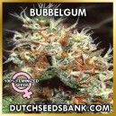 the solid bubblegum strain a daytime smoke and a easy plant to grow we say it a nice beginner strain.