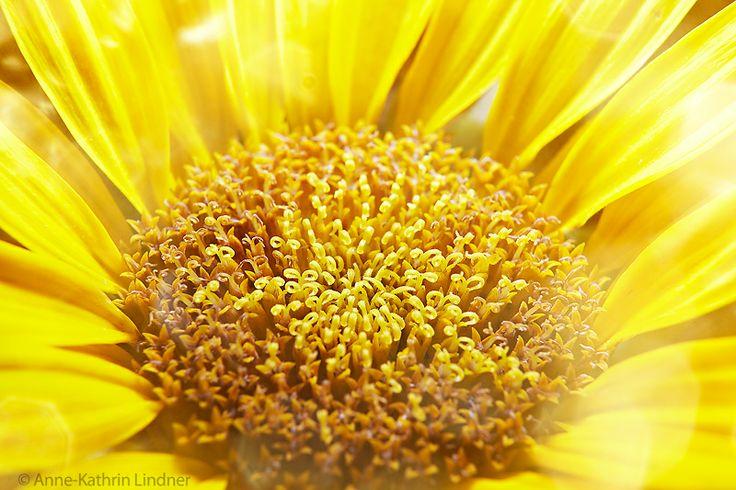 Sun-Flower close up ackerbau bauernhof blume blühen botanik botanisch bunt draußen ernte feld flora floral froh gelb grün hell himmel hintergrund jahreszeit kultur landschaft licht ländliche natur natürlich pflanze plantage schöner schönheit sommer sonne sonnenblume staat tage verdammt viele welt wiese zuwachs