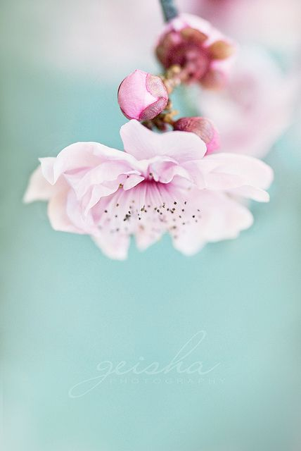 pink flower and blue background
