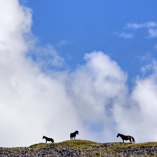 Wild ponies on dartmoor