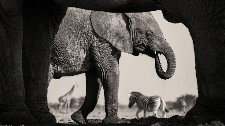 Imagen ganadora de la categoría Blanco y negro. Marco Natural fue tomada por Morkel Erasmus en el Parque Nacional de Namibia, Estosha. Su visión se limitaba a la ranura de un búnker estrecho hundido en el suelo