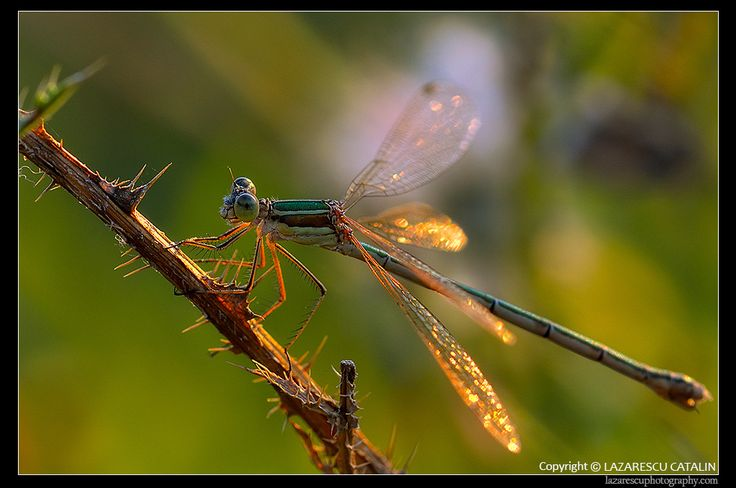 Dragonfly by Lazarescu R. Catalin on 500px
