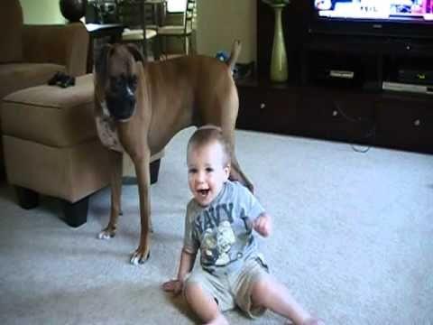 """Um cão da raça boxer """"ataca"""" um bebê indefeso e olha o que acontece... » Cães Online"""