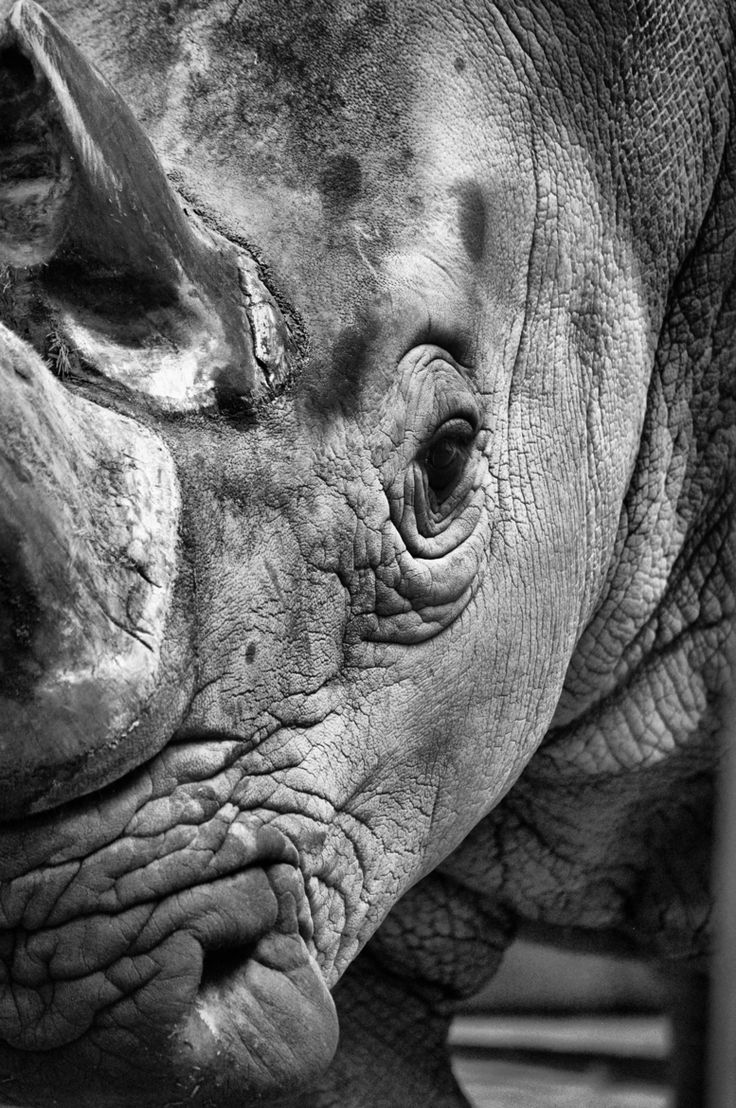 Rhino Up Close Amp Personal Rhinoceros Rhino Topanimals