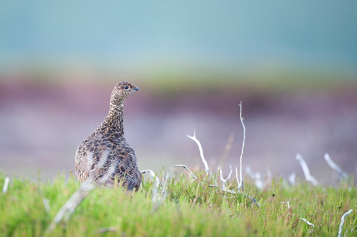 Red Grouse, North Yorkshire
