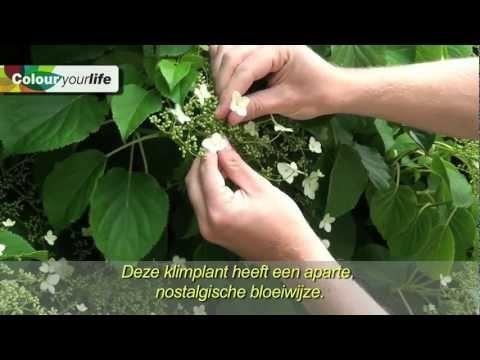 Klimmerskracht klimhortensia plant stories pinterest plants and gardens - Hoe om een e b e bpergola te bedekken ...