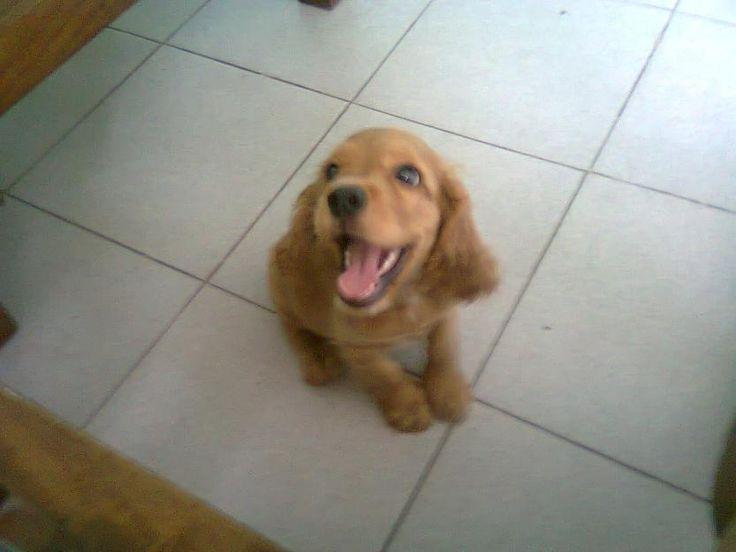 Vendo cachorros cocker spaniel ingles en Turmero - Animales > Otros animales