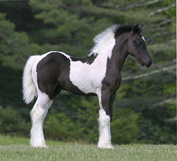 SWF Blue My Mind, 2011 Gypsy Vanner Horse colt beautiful