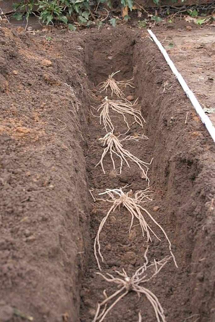 Spargel Jungpflanzen Einpflanzen Spargel Pflanzen Gruner Spargel Alles Uber Pflanzen