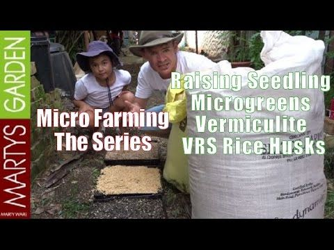 Raising Seedling Microgreens Seedlings Vermiculite Vrs Rice Husks Here is the link for how I raise micrgreens using this method. Link to the full series here...