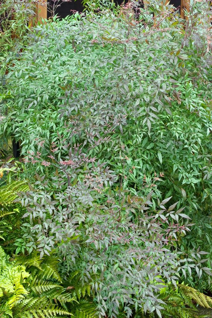 Monrovia's Emerald Sea Heavenly Bamboo details and information. Learn more  about Monrovia plants and best practices for best possible plant  performance.