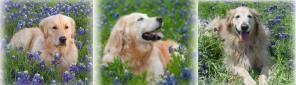 Golden Retriever Rescue of North Texas is where we got our girl from---our Maggie!
