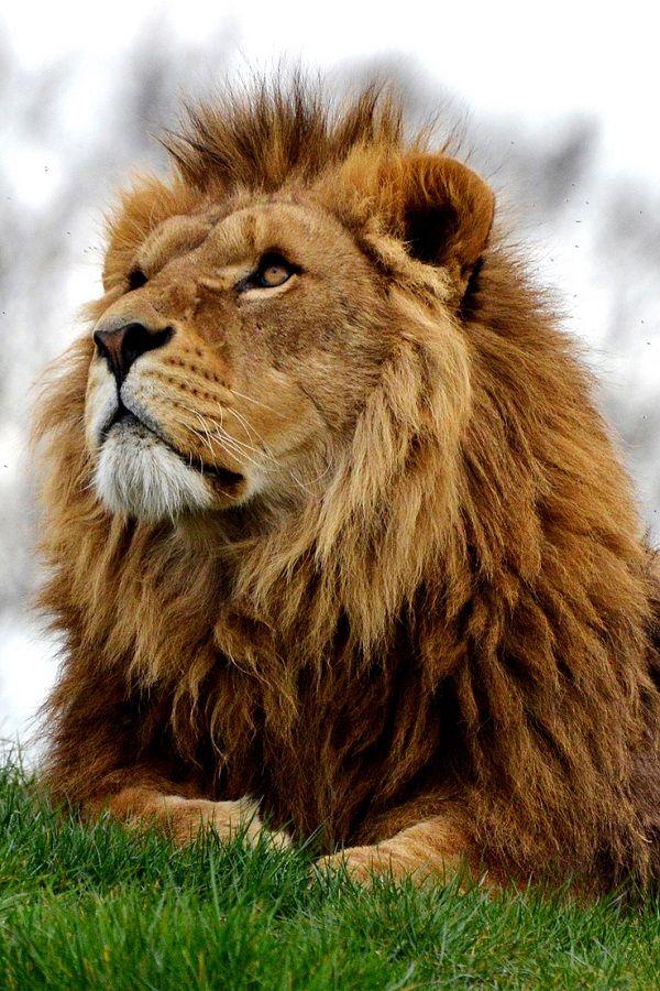 wolverxne: Considérer Lion - Yorkshire Wildlife Park | par: Dave M Hunt