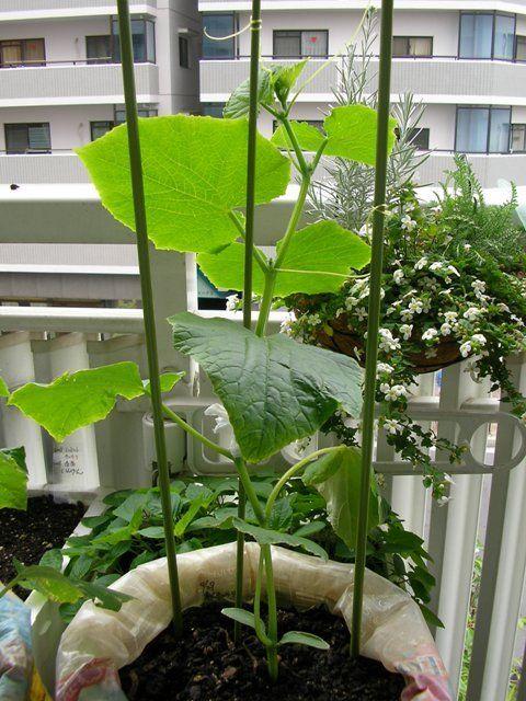 きゅうりの育て方 ベランダ菜園 園芸 家庭菜園