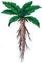Mandrake Seeds (1 seed pack) by Kratom-K.com, http://www.amazon.com/dp/B009R5FEOQ/ref=cm_sw_r_pi_dp_LEO-qb15TS6ZV
