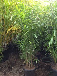 New Guinea Cluster Palms