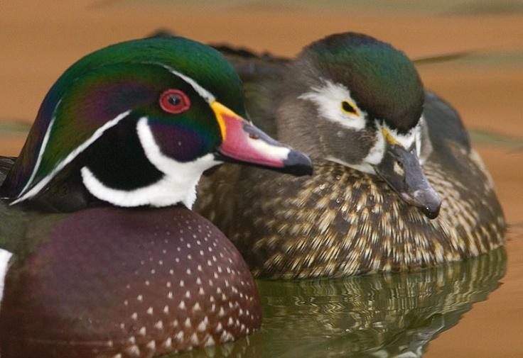 Wood Ducks M & F Bird pictures, Duck pictures, Wood ducks