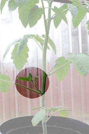 tomatplanta med tomattjuv