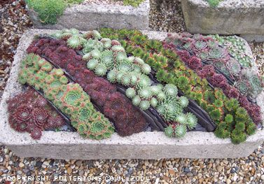 Love  the rainbow effect of this combination of sempervivums!Plants Can, Exactly Traditional, Gardens Can, Deserts Rose, Succulent Gardens, Air Plants, Trough, Rose Culture, Gardens Interesting