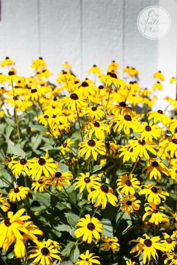 10 Best Hardy Perennials | A DIY Gardener's Guide | Black Eyed Susans