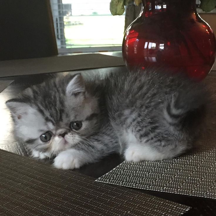 172 best Exotic Shorthair Cats images on Pinterest
