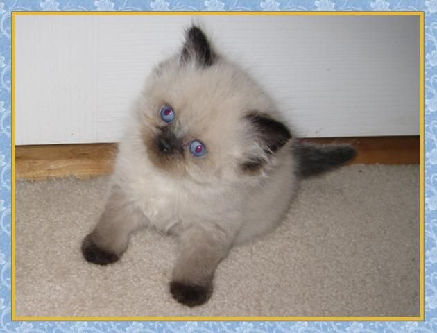 What Food Is Best For Himalayan Cats
