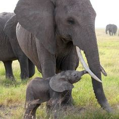 Hope for elephants as more Chinese feel remorse for ivory purchases: A recent evaluation of an advertising campaign by the International Fund for Animal Welfare (IFAW) to reduce ivory demand in China shows that the campaign is paying dividends with 68% of the respondents said that they would definitely not buy ivory in the future.