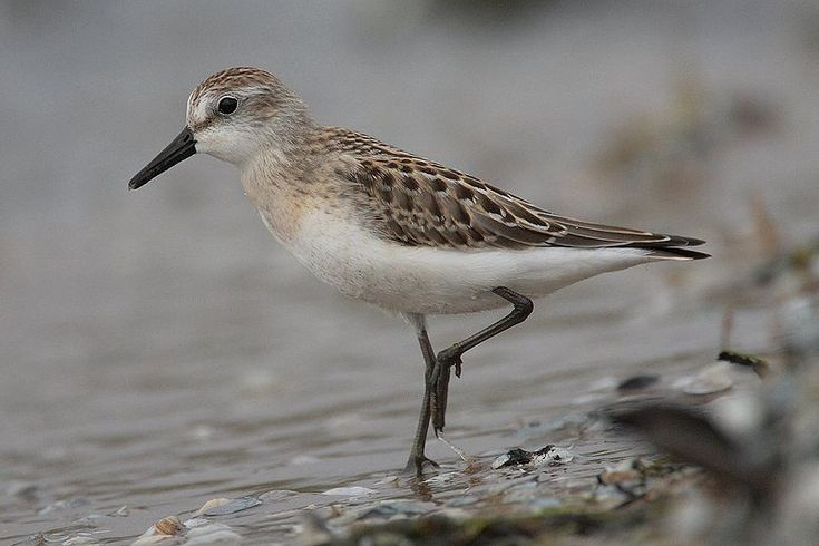 """The semipalmated sandpiper (Calidris pusilla) is a very small shorebird. It is sometimes separated with other """"stints"""" in Erolia, but, although these apparently form a monophyletic group, the present species' old genus Ereunetes had been proposed before Erolia. Their breeding habitat is the southern tundra in Canada and Alaska near water. They nest on the ground. The male makes several shallow scrapes; the female chooses one and adds grass and other material to line the nest. The female…"""