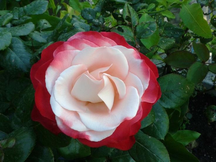 rosa bicolore nel terrazzo della mia mamma