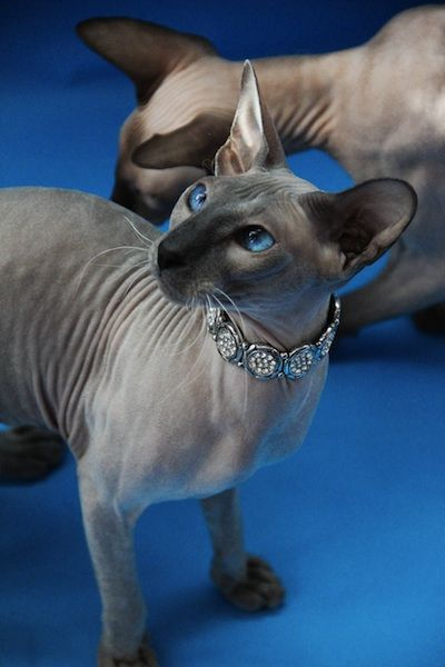 Beautiful Peterbald cat