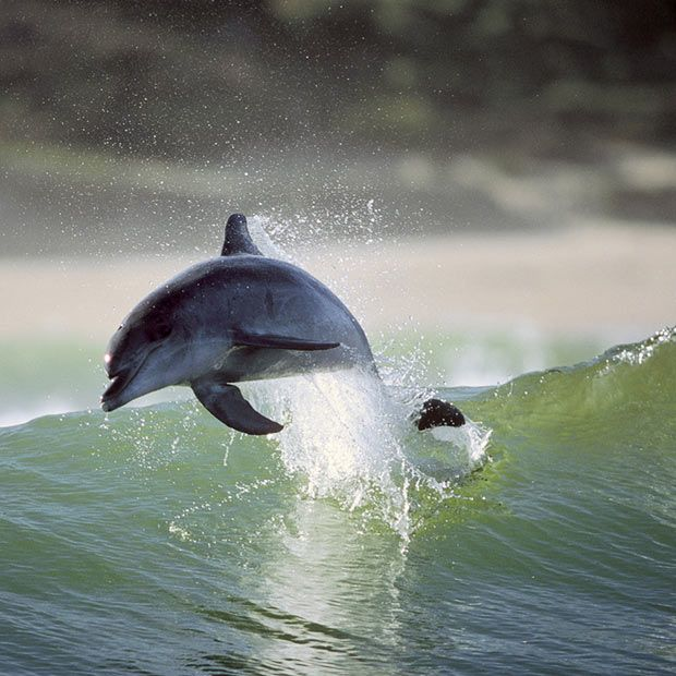 Dolphins surfing off the coast of South Africa. Pictures by Greg Huglin via Telegraph
