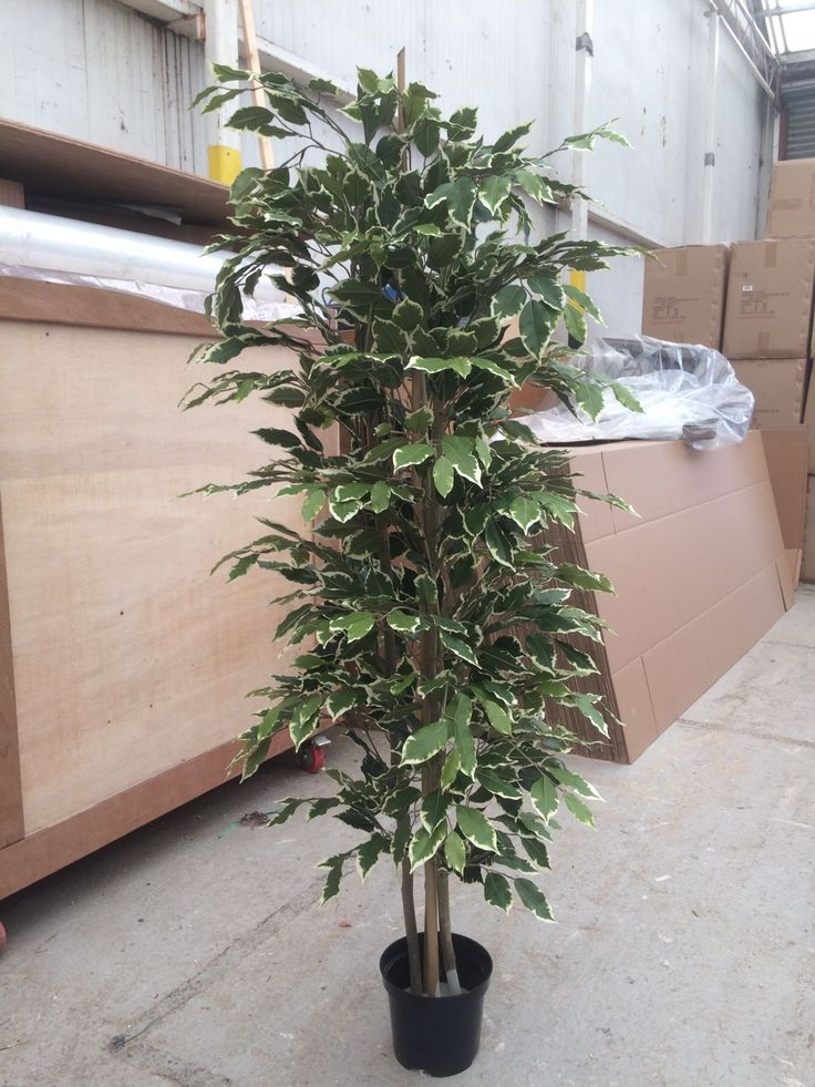 5ft High Artificial Cane Ficus Tree, Perfect Plant For The Office. Made  Bespoke To
