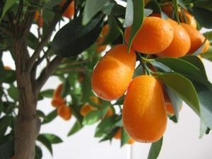 Kumquat Tree Care:  Tips for growing Kumquat Tree