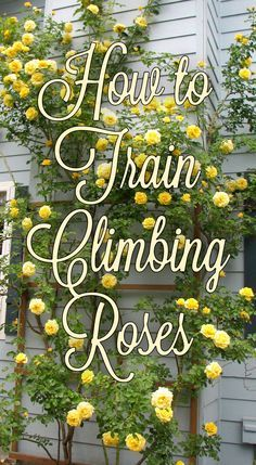 Learn how to create beautiful walls of color with climbing roses.