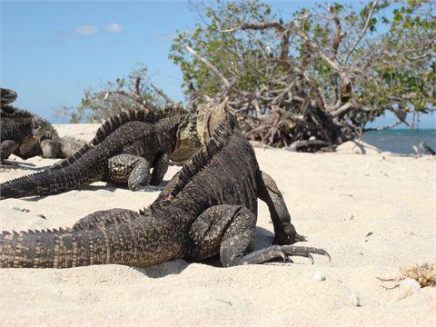 Iguane sulla spiaggia di Cayo Iguana