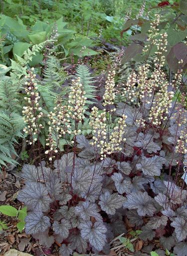 Heuchera 'Palace Purple' forms semi-evergreen clumps.  A great contrast with brighter flowering plants.