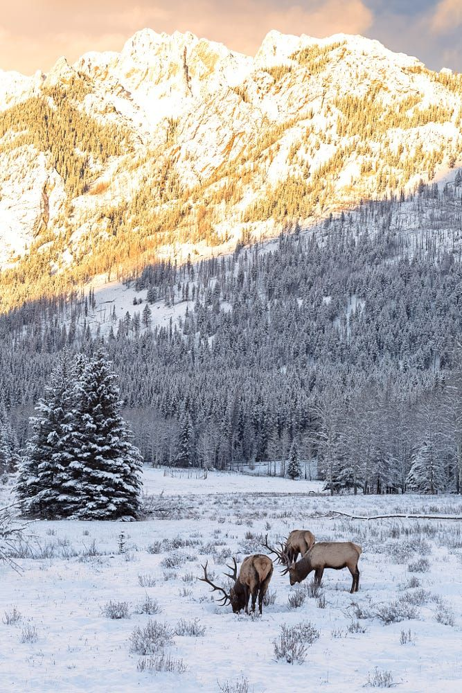 Grazing Elk in the Canadian Rockies by Chris Greenwood on 500px