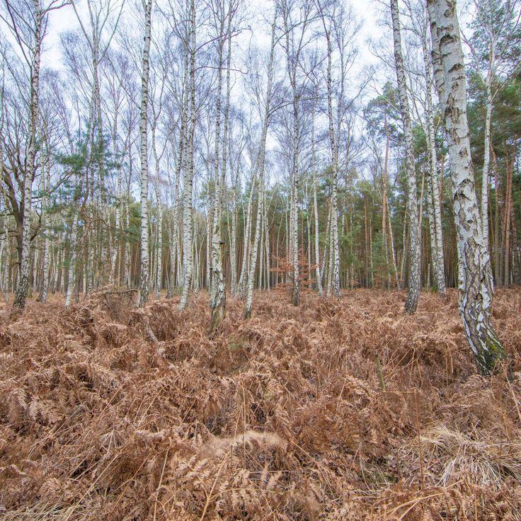 Bild 33 - Zadlitzbruch in der Dübener Heide bei Torgau | © Michael Eichhorn #zadlitzbruch #dübener_heide #naturschutzgebiet #sachsen #saxony #ausflugsziel #torf #moor #hochmoor #wandern #dübenerheide #duebenerheide #torgau #baddueben #baddüben #wald #sumpf #sumpfgebiet #natur #naturschutz #reservat #biosphäre #biosphere #farn #naturpark #falkenberg #trossin #dresden #nordsachsen #leipzig #sehenswürdigkeit #ziel #sonnentau #sumpfdotterblume #kranich