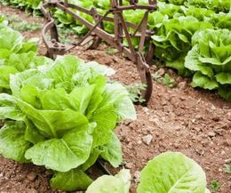 How to Know When Romaine Lettuce Is Ready to Pick? | eHow