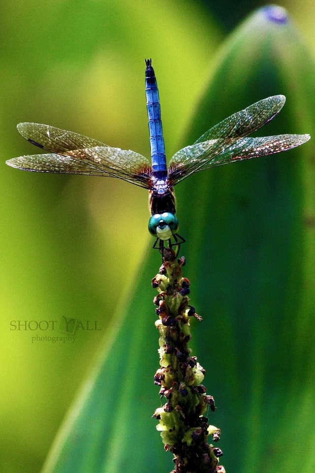 1000 Images About Dragonfly Pictures On Pinterest