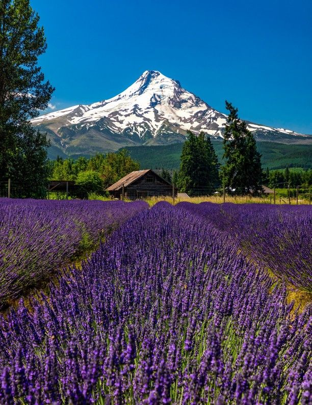 Lavender Valley, Hood River County, Oregon — by Michael Schuier. Driving around the fertile lands to the north of Mt Hood you will see wine country, apple farms, and lavender fields....