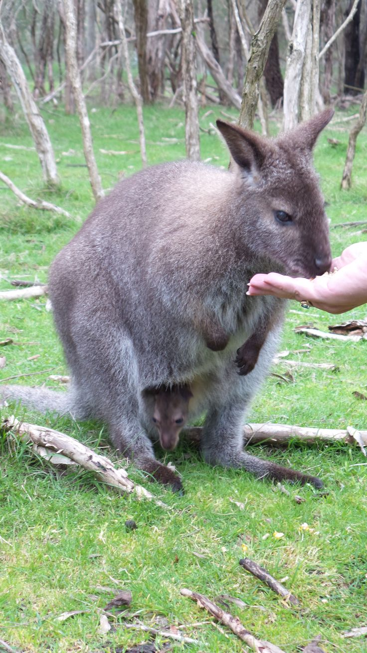 Get up close and feed the wallabies at Moonlit Sanctuary in Pearcedale on the Mornington Peninsula in Melbourne, Victoria, Australia