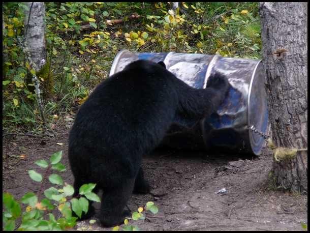 Bear Baiting Tips and Tricks