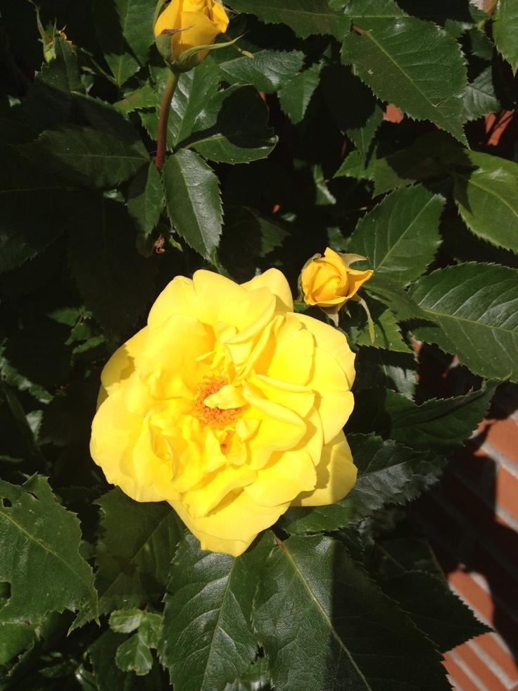 Gule roser