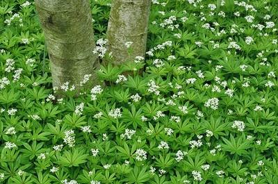 Galium odoratum. Myskmadra. Autumn sowing. Blooms May-Jul